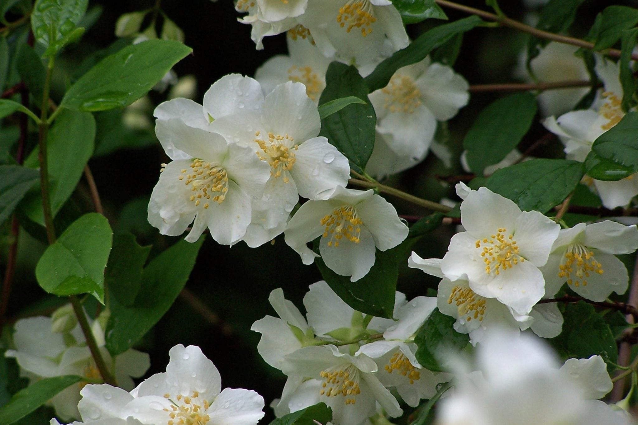 Dewy white flowers perfume spring air and adorn green foliage.