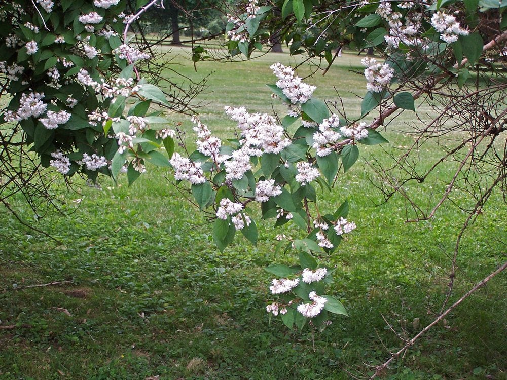 White flowered bushes mark where an old path used to go along through the lawn.